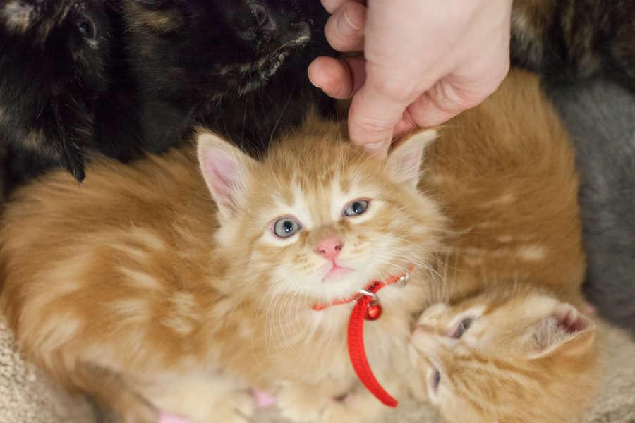 cera-kittens-amy-14