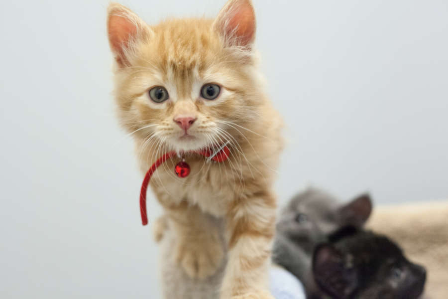 cera-kittens-amy-16