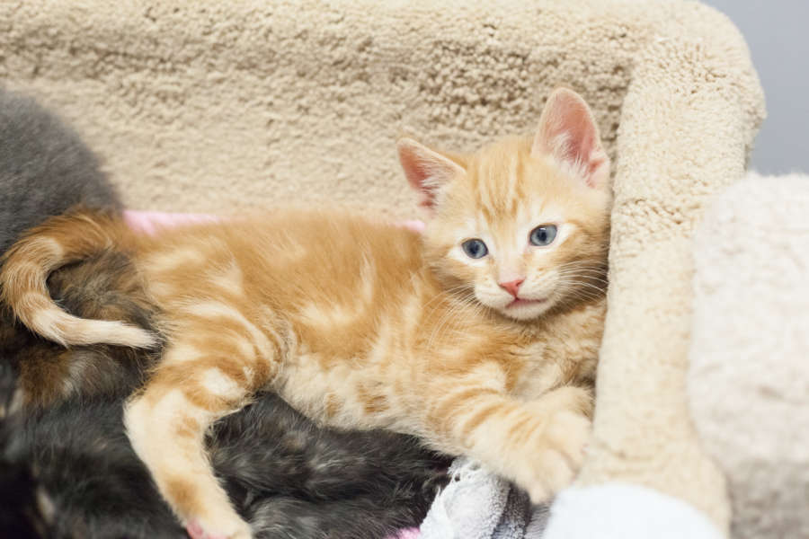 cera-kittens-amy-18