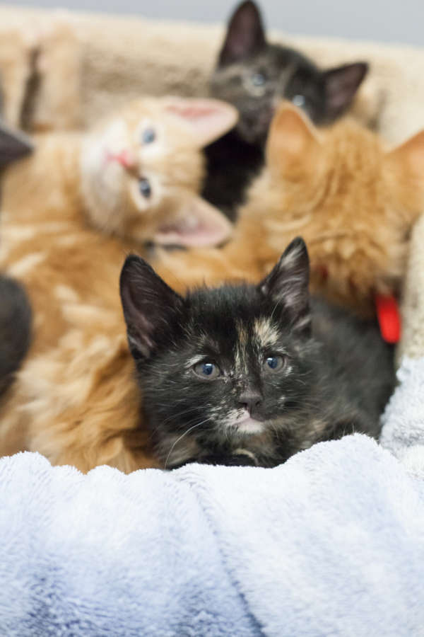 cera-kittens-amy-3